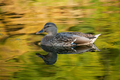 Fall colours. Taken at Dufferin Islands - mallard duck with reflections of fall colours from the tress royalty free stock photo