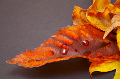 Fall colours. Close view of autumn leaves fallen on a slate surface (with clipping path Royalty Free Stock Photos
