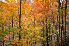 Fall colours in a forest in Ontario, Canada stock images