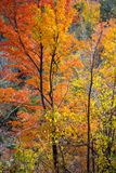 Fall colours in a forest in Ontario, Canada royalty free stock image