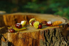 Fall colours naturemort. An autumn scene with some chestnuts and leafs on a stub in the sunset Royalty Free Stock Image