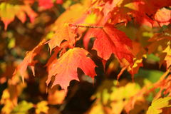 Fall Colours of Sugar Maple Leaves in Evening Light Stock Photo