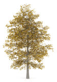 Fall common lime tree isolated on white Stock Image