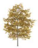 Fall common lime tree isolated on white Stock Photos