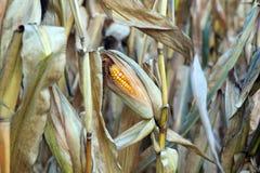 Fall Corn Royalty Free Stock Photo