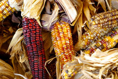 Fall corn. Corn cobbs stock image