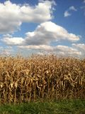Fall Corn Stock Photography