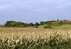 Fall Corn Field in Wisconsin Stock Photo