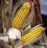 Fall corn Stock Photo