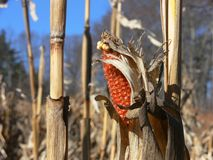 Fall: corn husk in harvested field Stock Image