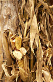 Fall corn husks and dried corn Stock Image