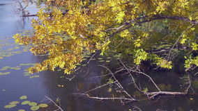 Fall in the countryside. Tree branch with amazing yellow and gold leaves swaying. Wonderful nature in autumn season. Tree in the forest or park on the on the stock video footage