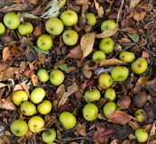 Fall Crab Apples on the Forest Floor Stock Image