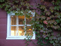 Fall: creeper around window in red wall Stock Image