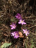 Fall Crocus. Purple Crocus in Fall stock photography