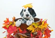 Fall Dalmatain Puppy Stock Photography