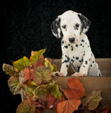 Fall Dalmatian Puppy Royalty Free Stock Image