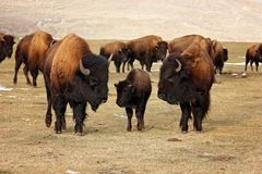 Three bison or buffalo protecting their young royalty free stock photography