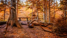 Fall in Denmark. Fall comes to the forest in Denmark Royalty Free Stock Image