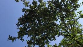 Fall der Frucht - Apfelbaumast mit den grünen und gelben Äpfeln Unterer Schuss zum Apfelbaum und zum blauen Himmel stock video
