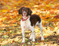 Fall dog. Liver and white English Springer Spaniel dog in the fall Royalty Free Stock Photography