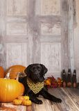 Fall Dog Portrait Stock Photography