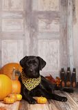 Fall Dog Portrait Royalty Free Stock Photography
