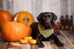 Fall Dog Portrait. Beautiful Black Labrador Retriever lying next to some pumpkins and gourds with other fall decor in the background stock image