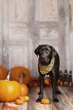 Fall Dog Portrait Stock Images