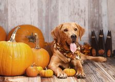 Fall Dog Portrait Stock Photo