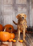 Fall Dog Portrait Royalty Free Stock Photo