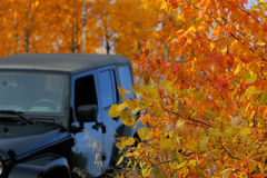 Fall Drive. A drive in the woods surrounded by the beautiful autumn colors poplar cottonwood cotton wood Royalty Free Stock Photo