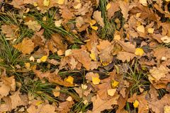 Fall dry yellow autumn leaves in grass background stock photo