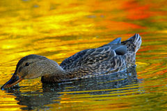 Fall Duck. A female mallard duck (Anas platyrhynchos) swimming on a pond at dusk in Fall Stock Image