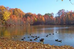 Fall Duck pond. This is a colorful shot of a duck pond in the fall stock photography
