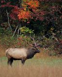 Fall Elk Stock Photo