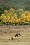 Fall elk in Colorado Royalty Free Stock Images