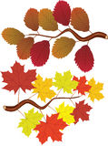 Fall elm and maple leaves Royalty Free Stock Photos