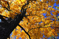 Fall elm tree. Golden autumn canopy of an old elm tree in sunny fall forest royalty free stock photos
