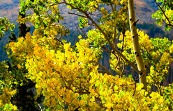 Fall färbt auffallendes Gold mit Aspen-Bäumen in Rocky Mountain National Park, Colorado Lizenzfreie Stockfotos
