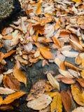 Fall. The fallen leaves yellow autumn season Royalty Free Stock Photography