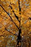 Fall-Farbe, Korken-Ulme-Waldung 11 Stockbilder