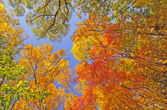 Fall-Farben in Forest Canopy Stockfoto