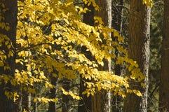 Fall-Farben im Black Hills Lizenzfreies Stockbild