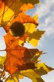 Fall farbige Ahornblätter Stockfoto