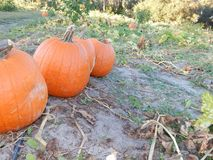 Fall farm line. Pumpkins still on the vine in the field Royalty Free Stock Images