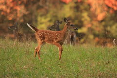 Fall Fawn 3 Royalty Free Stock Photos