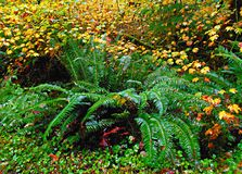 Fall Fern Festival. Ferns on the hiking trail in the old growth forest at Delta Campground near Blue River, OR royalty free stock images