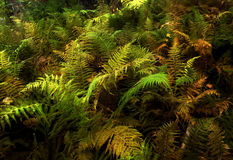 Fall fern leaves in New Hampshire Royalty Free Stock Images