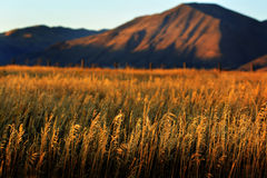 Fall Field Near Harvest with Mountains in Background Stock Photography